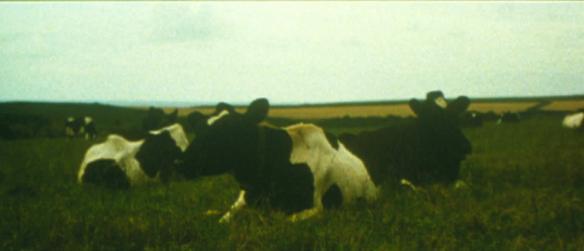Dean Banewl 1999 cows