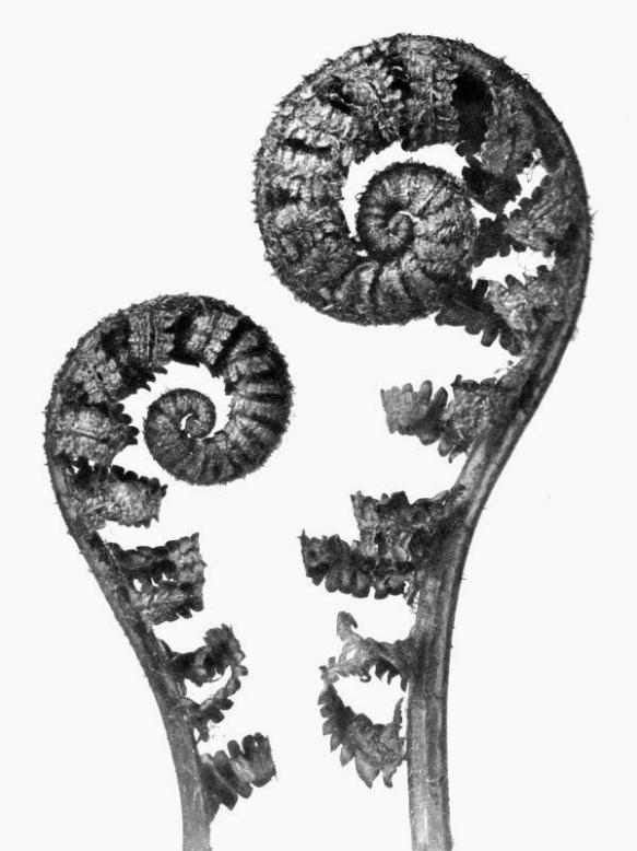 Karl Blossfeldt Aspidium filixmas