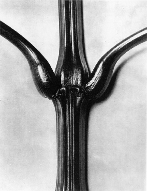 Karl Blossfeldt, Indian Balsam, 1928